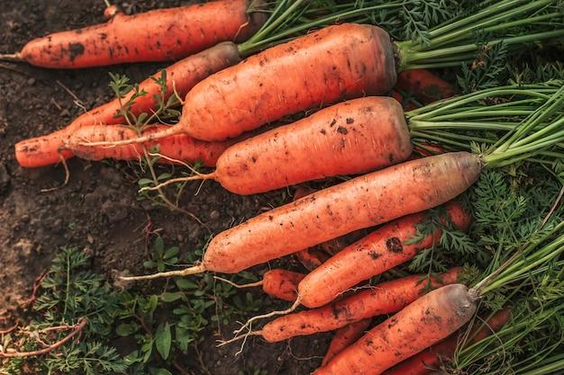 Un mazzo di carote con le cime sul terreno.