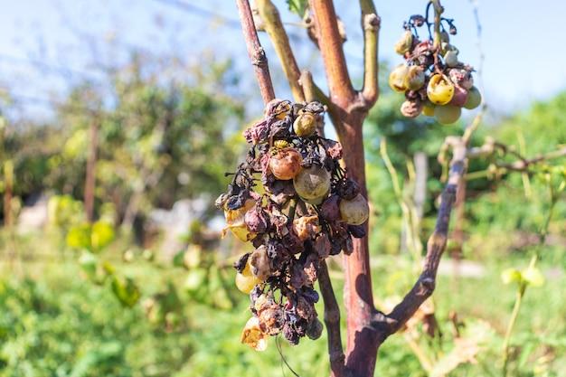 Un grappolo d'uva secca in decomposizione. la vespa si siede sull'uva