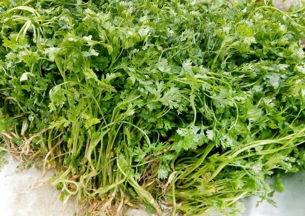 Mazzetto di foglie di coriandolo fresco