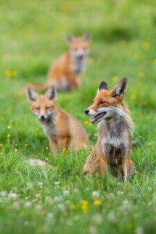 Mazzo di volpe rossa che si siede sul pascolo verde in primavera