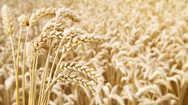 Mazzo di spighe di grano mature contro il campo di grano in giornata di sole. concetto di buon raccolto.