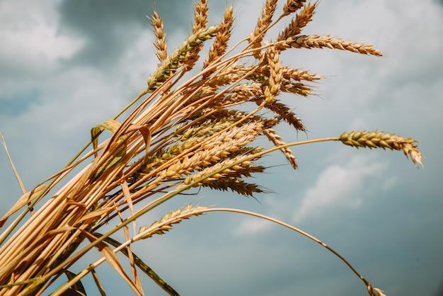 Mazzo di grano dorato maturo su una priorità bassa del cielo.