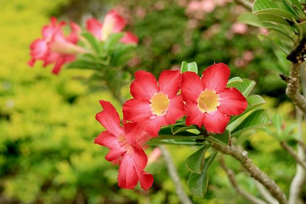 Mazzo di fiori rossi vibranti di adenium obesum o rosa del deserto che sbocciano sull'albero