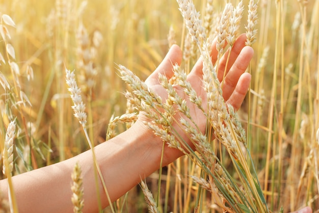 Un grappolo di spighe di grano in mano di una donna, contro il campo di grano dorato