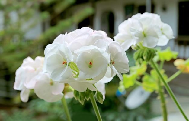 Mazzi di bellissimi gerani bianchi (pelargonium) nel patio