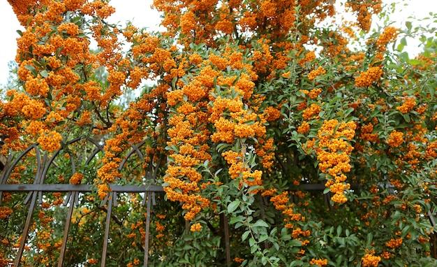 Mazzi di frutti di bosco simili a arance firethorn (pyracantha) piante da copertura