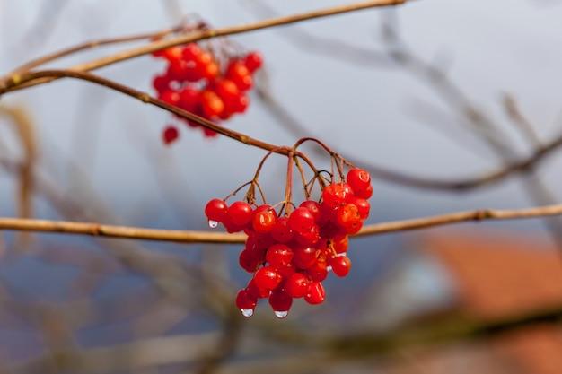Mazzi di bacche di viburno rosso con gocce di pioggia alla fine della stagione estiva frutta di stagione