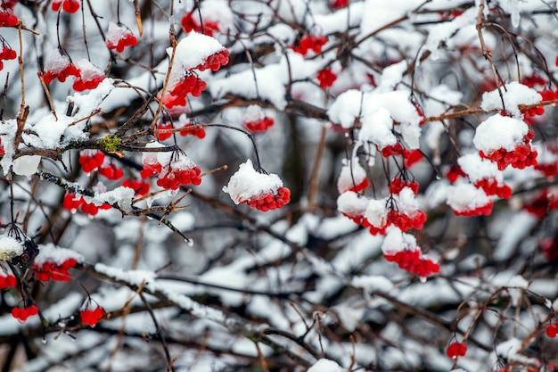 Grappoli di viburno rosso nella neve