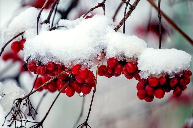Grappoli di viburno sotto un cappello di neve bagnata