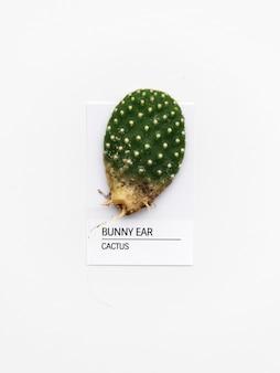 Cactus di bunny ear