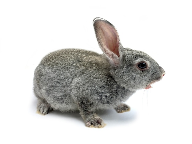 Coniglio di coniglietto seduto davanti a uno sfondo bianco