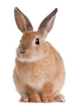 Coniglio di coniglietto che si siede sul bianco isolato