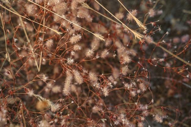 Sfondo naturale di erba di code di coniglio