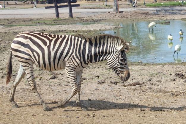 La zebra del burchell nell'azienda agricola alla tailandia