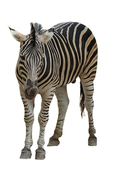 La zebra del burchell isolata