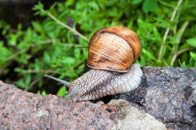 Lumaca di borgogna helix pomatia o escargot in ambiente naturale