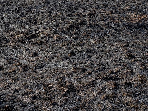 Erba bruciata. un campo con erba bruciata. incendio doloso intenzionale. la distruzione degli insetti. disastro ecologico.