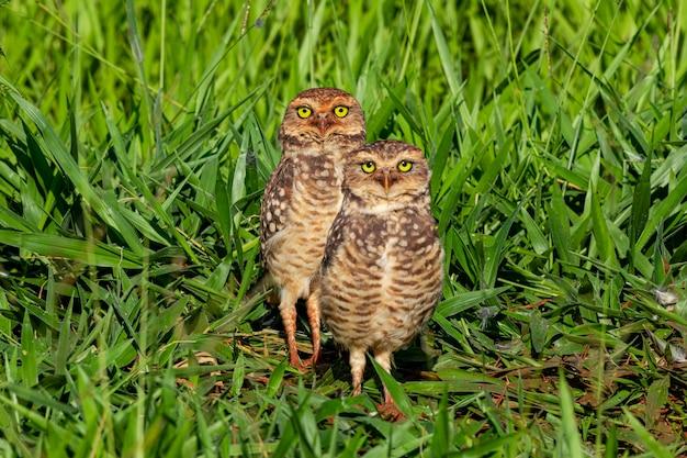 The burrowing owl, chiamato anche field caburet
