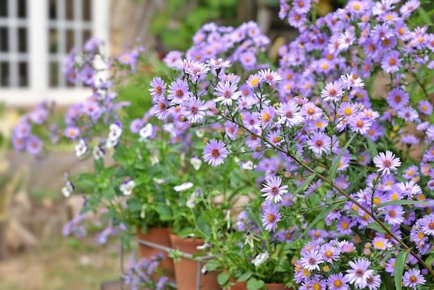 Cespuglio di fiori di aster in fiore nel giardino di una casa rurale