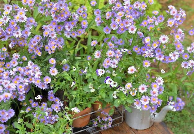 Cespuglio di fiori di aster e vasi di fiori in giardino