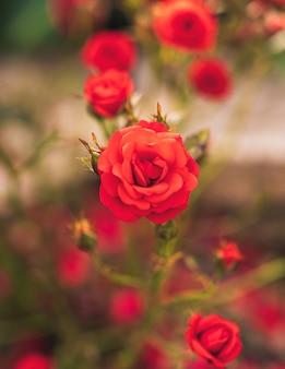 Cespuglio di bellissime rose rosse alla luce naturale.