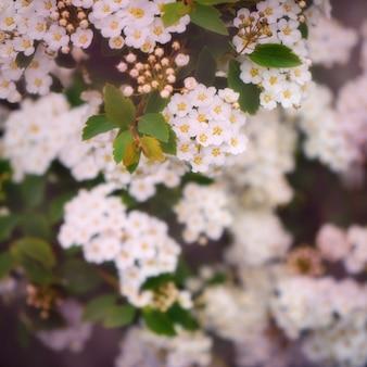 Rami di cespuglio con molti piccoli fiori bianchi luminosi. avvicinamento. macro.