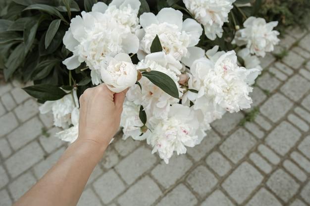 Il cespuglio del primo piano di fioritura della peonia dei fiori di primavera fresca.