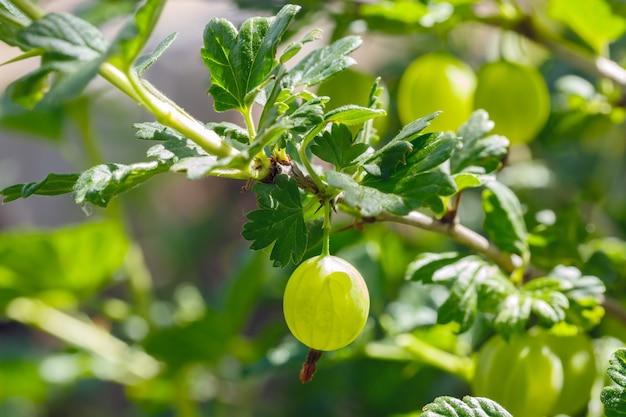 Cespuglio di uva spina con frutti maturi.