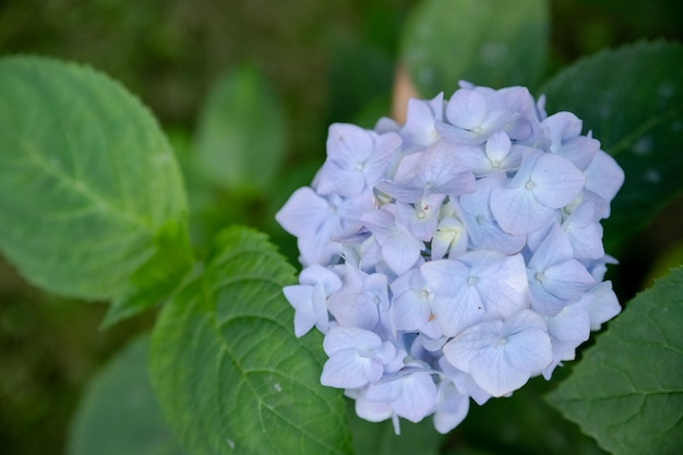 Bush di splendida fioritura blu fiore di ortensie sbocciare in un giardino.molti fiori di ortensie blu che crescono nel parco, sfondo floreale.stagione estiva.spazio copia