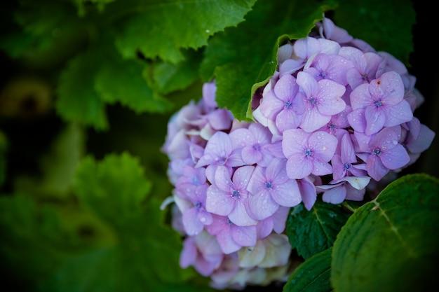 Cespuglio di fiori di ortensia, ortensia blu e viola o fiori di ortensia con foglie verdi che fioriscono nel giardino di primavera