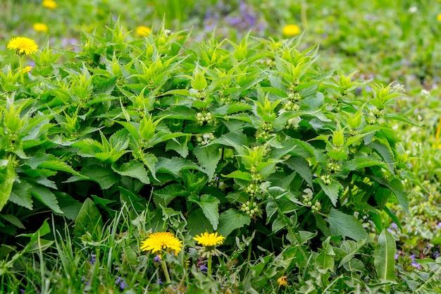 Un cespuglio di ortiche tra l'erba verde tra gli alberi