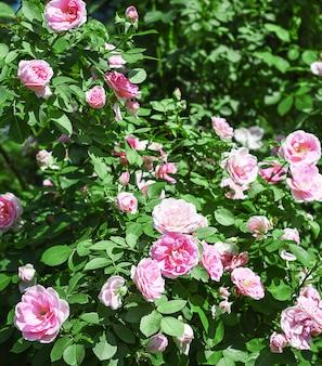 Cespuglio di rose rosa pallido in un giardino.