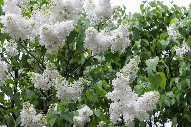 Cespugli di lillà bianchi in fiore. foglie verdi sui rami. sfondo di piante