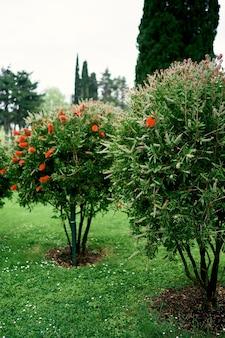 Cespugli che sbocciano con fiori rossi in un parco verde