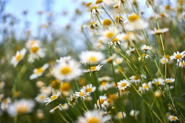 Cespugli con bellissimi fiori di camomilla