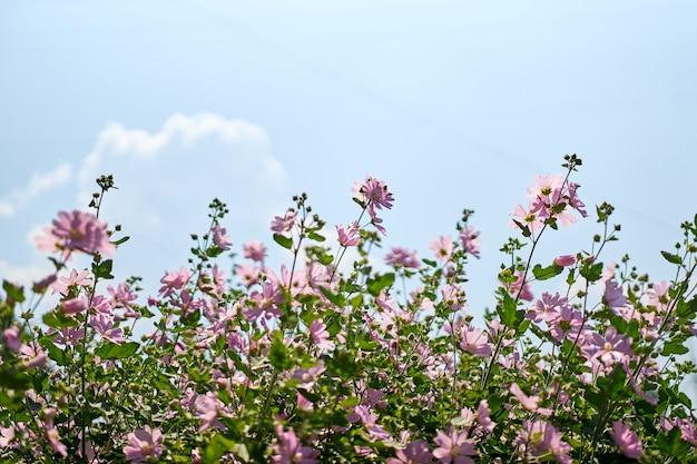 Cespugli con bellissimi fiori rosa vicino alla casa. giardinaggio e floricoltura