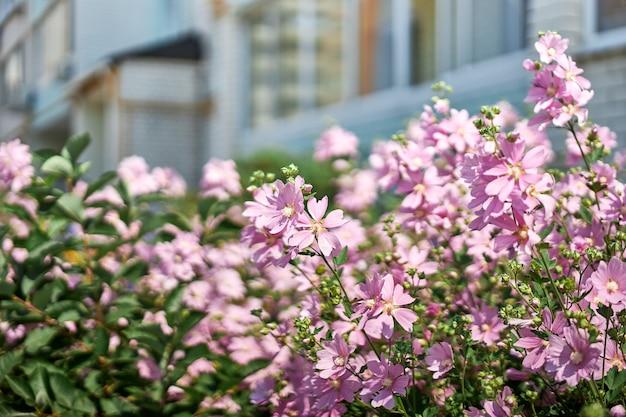 Cespugli con bellissimi fiori rosa vicino a una casa