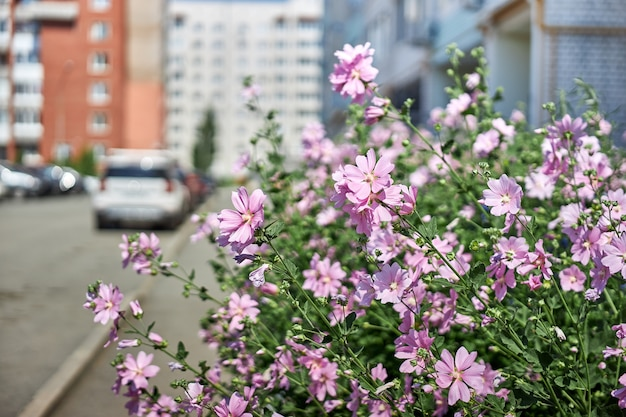 Cespugli con bellissimi fiori rosa