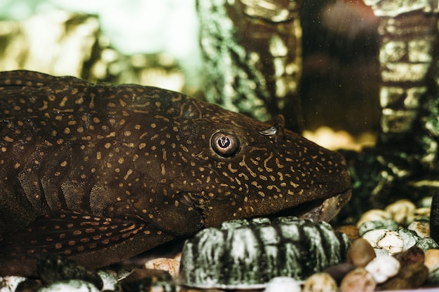 Pesce gatto di bushymouth. ancistrus dolichopterus. pesci d'acquario domestici.