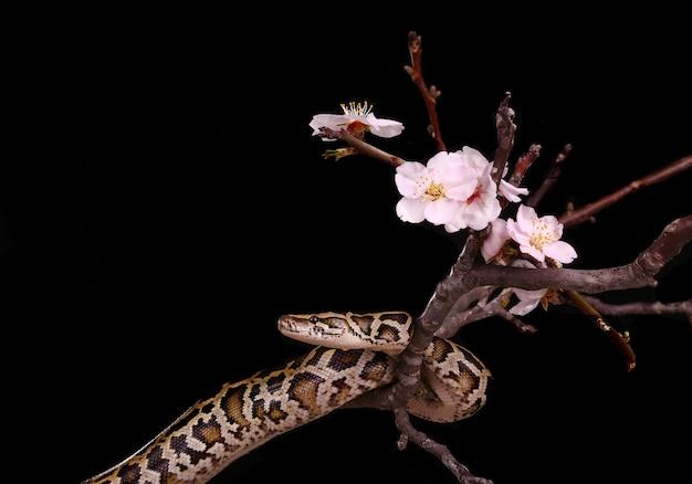 Serpente di boa vipera moresco del pitone reale della sfera del burro sul ramo con i fiori su oscurità