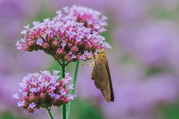 Le farfalle sulla verbena fioriscono e sono belle nella stagione delle piogge.