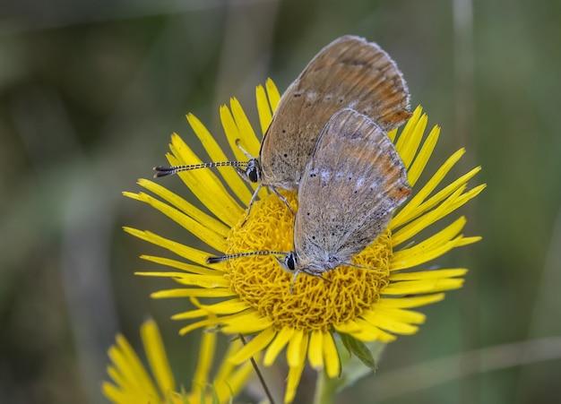 Farfalle su un fiore giallo