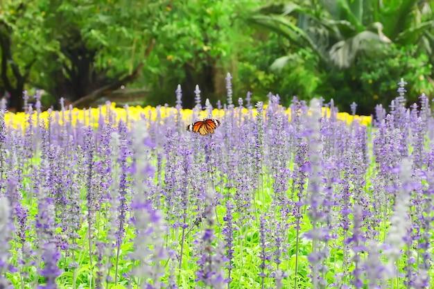 Farfalla in colorato di campo di lavanda