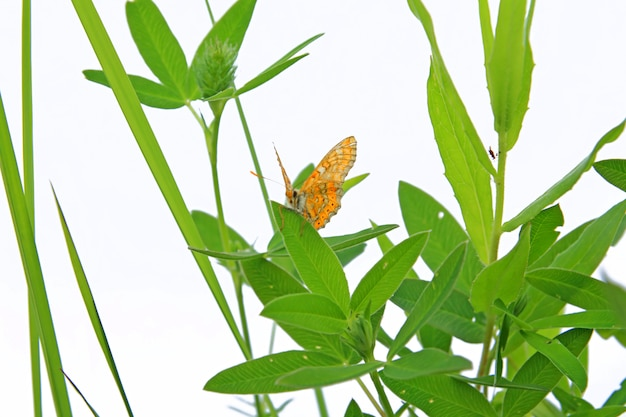 Farfalla su erba su sfondo bianco