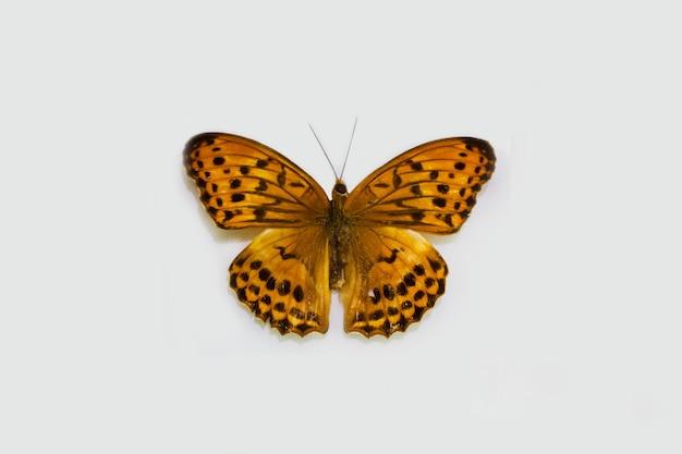 Farfalla isolata su bianco