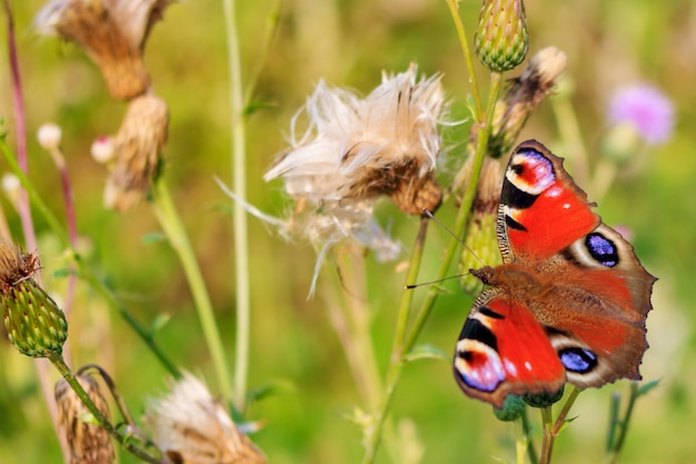 L'occhio del pavone della farfalla si siede sul gambo della pianta su un'erba verde