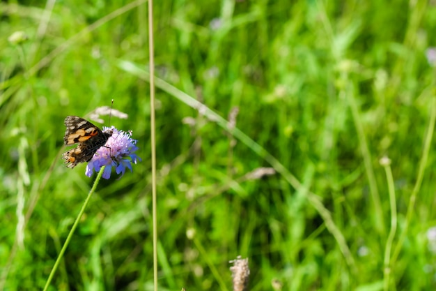 Butterfly si sedette su un fiore in un prato tra l'erba. sfondo verde.