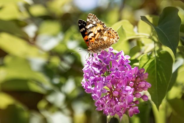 Farfalla che si siede su un cespuglio lilla di fioritura