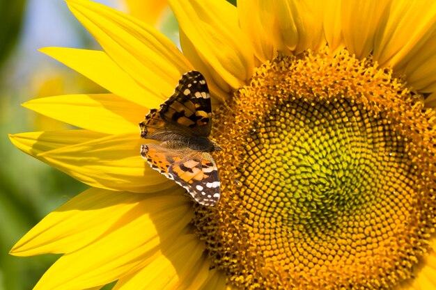Farfalla su una coltivazione di girasole