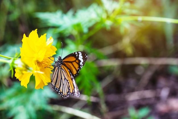 La farfalla sul fiore giallo.